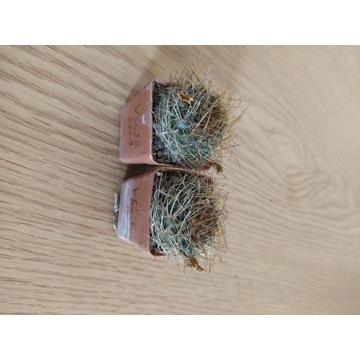 Kaktusy Sulcorebutia candiae VS628