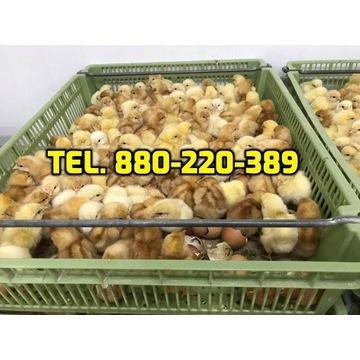 Kurczaki pisklęta mięsne, kury nioski, kaczki,inne