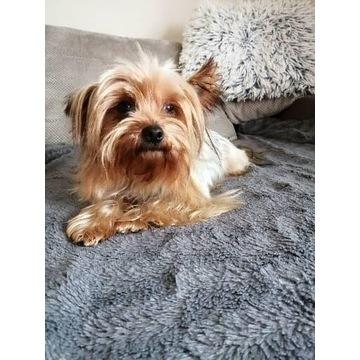 York Yorkshire terrier mini mini