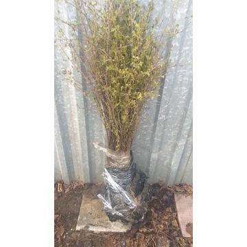 Sadzonki Brzozy  Pakiet M 25 szt 100-150 cm ogród
