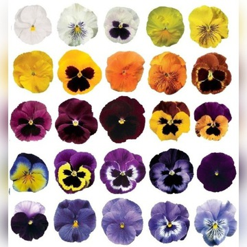 Bratki wielkokwiatowe mix kolorów 20 szt.