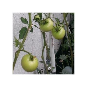 Pomidor Złoty Ożarowski EKO wys.50..60cm WYPRZEDAŻ