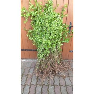 Szdzonki brzozy 80-200 cm