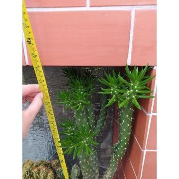 Kaktus gigant wysokość 87 cm