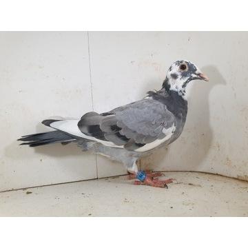 Młody 100 % Bula-Latacz gołąb gołębie pocztowe