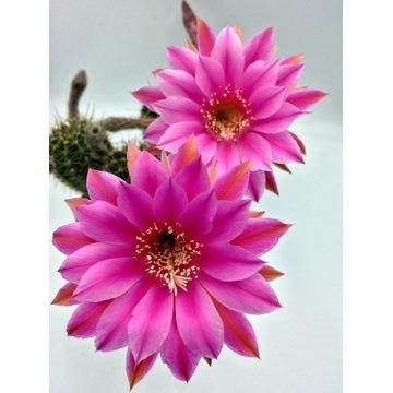 Kaktus echinopsis hybryd ESP211