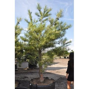 Pinus oculus Draconis