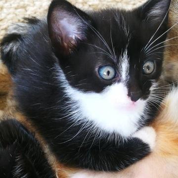 Kociaki 7,5 tygodnia (małe kotki)