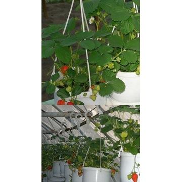 Sadzonki truskawek pnących frigo bardzo planujące
