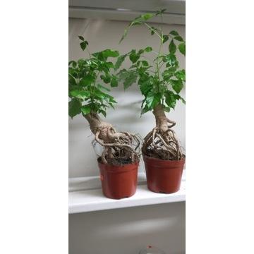 radermarchera Mangrove