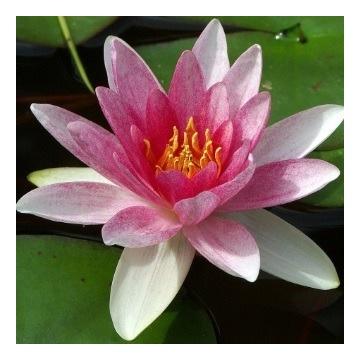 Lilia wodna różowa z ciemnym środkiem