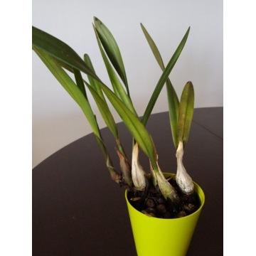 encyclia atropurpurea storczyk orchidea