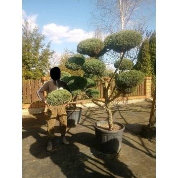 Drzewko Juniperus bonsai