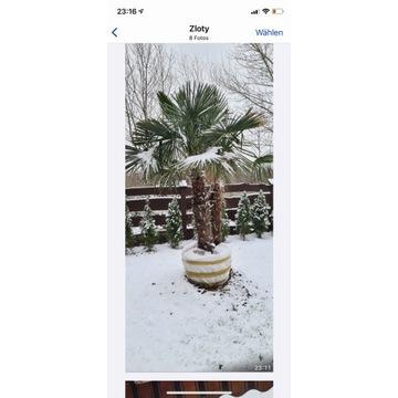 Palma mrozoodporna Trachycarpus Fortunei