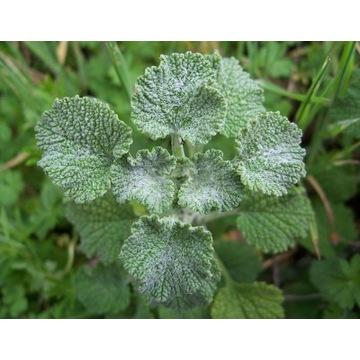 Szanta (Marrubium) zioło przeciwwirusowe sadzonka