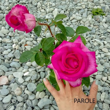 Róża wielkokwiatowa PAROLE Kordes