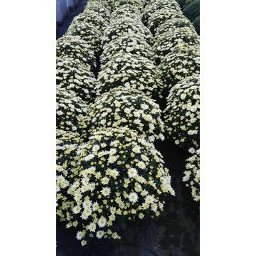 Chryzantemy cięte, drobno i wielkokwiatowe