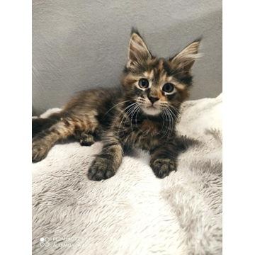 Maine Coon f22 szylkretowa kotka śliczna gotowa