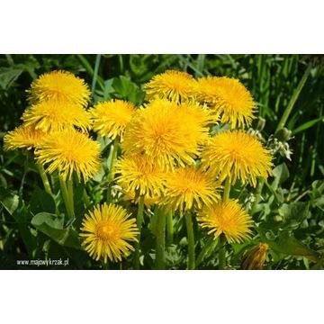 Mniszek lekarski świeży kwiat syrop ekologiczny