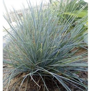 Kostrzewa sina- sadzonka trawy z gruntu.