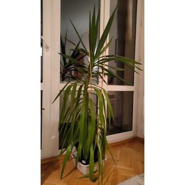 Juka roślina duża 170cm yuka