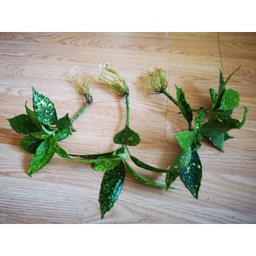 Aucuba Japonica variegata domowa lub ogrodowa