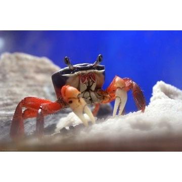 Krab kraby tęczowy tęczowe akwaterrarium terrarium