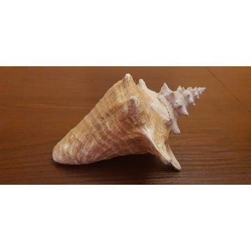 Duża muszla morska naturalna ponad 20 cm