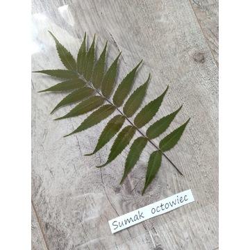 Krzewy liściaste Sumak Octowiec ZIELNIK