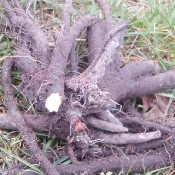 Żywokost korzeń świeży .