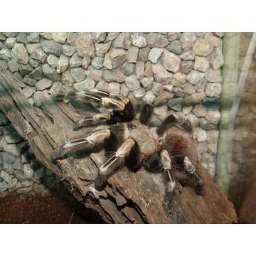 Nhandu chromatus L5 - 5 sztuk