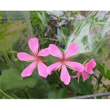 Pelargonia różowa - sadzonki
