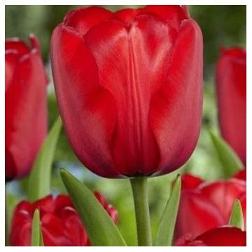 Cebulki Tulipan Red Impression 10szt. Holandia EKO