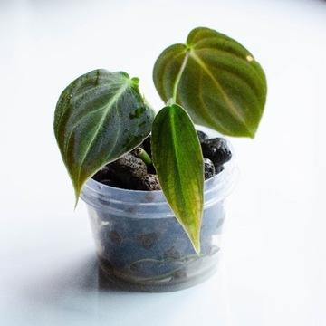 Philodendron Melanochrysum, filodendron sadzonka 1