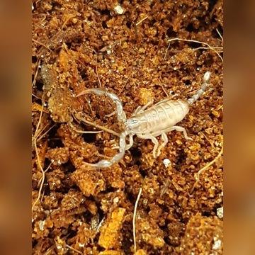 Skorpion włoski (Euscorpius italicus) L3