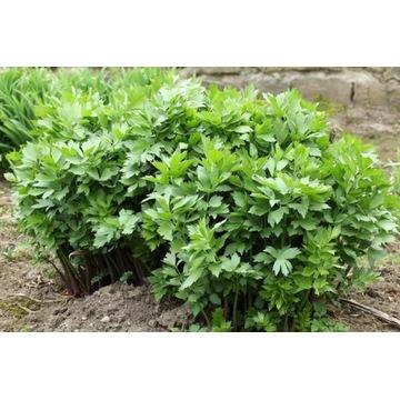 Lubczyk ogrodowy - sadzonki