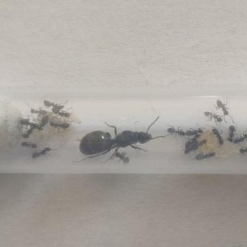 Mrówki Lasius niger(Q+15-20robo)-zestaw startowy