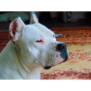 Szczenięta Dogo Argentino Dog Argentyński