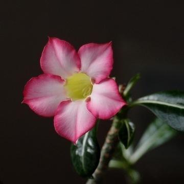 Adenium Róża pustyni
