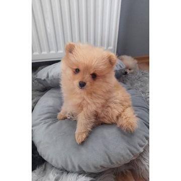 Pomeranian, szpic miniaturowy, suczka