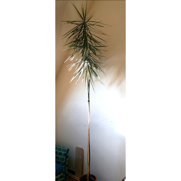 Dracena 4,5m wysoka