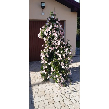 Kwiat Sundaville wys. 2m