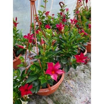 roślina Dipladenia