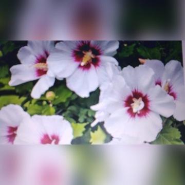 Hibiskus ogrodowy -  ketmia syryjska 10 sadzonek