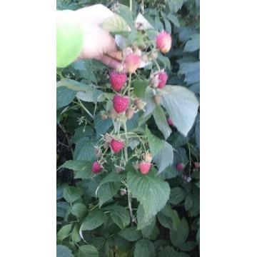 Sadzonki maliny jesiennej - polana
