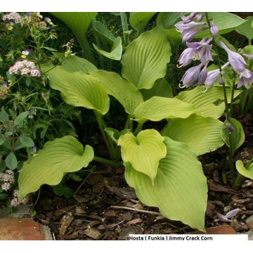 Hosta ' Jimmy Crack Corn