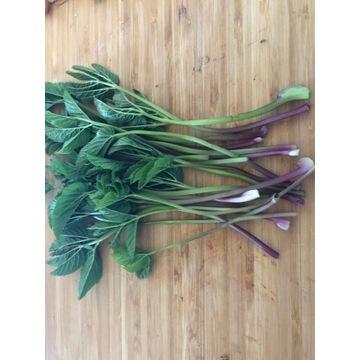 Podagrycznik zioło warzywo sadzonki kępa superfood