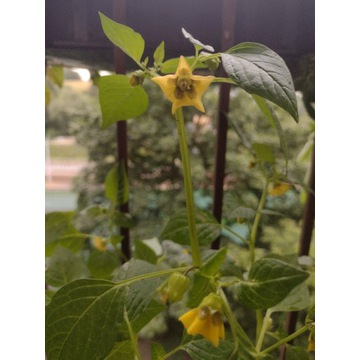 Physalis Miechunka pomidorowa sadzonki 40-60cm