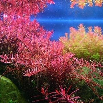 ZESTAW roślin do akwarium 40 sadzonek OKAZJA