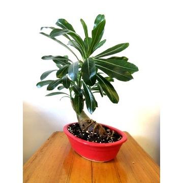 Adenium Obesum Drzewko Bonsai na prezent :)